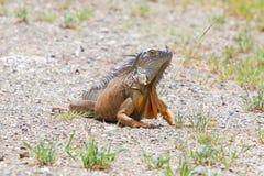 Iguana (Iguana iguana) Stock Images