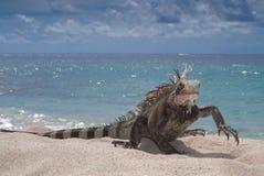 Iguana (Iguana iguana) walking. Green Iguana (Black variation of Species)  on the beach in St Thomas, US Virgin Islands Stock Photo