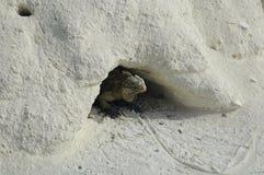 iguana on iguana island Royalty Free Stock Images