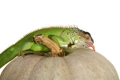 Iguana iguana and pumpkin Stock Image