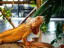 Iguana iguana on wood background. Zoo thailand ,animal reptile live zoo royalty free stock images