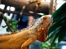 Iguana iguana on wood background. Zoo thailand ,animal reptile live zoo royalty free stock photography
