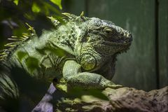 Iguana. An Iguana at a zoo in the UK Royalty Free Stock Photography