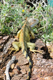 Iguana - Iguane Στοκ εικόνες με δικαίωμα ελεύθερης χρήσης