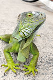 Iguana - Iguane Stock Photography