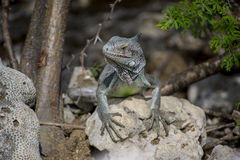 Iguana II Royalty Free Stock Photography