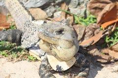 Iguana II Stock Images