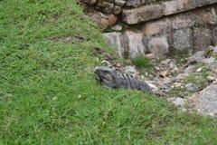 Iguana III Imágenes de archivo libres de regalías