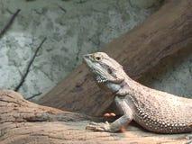 Iguana imóvel Imagem de Stock