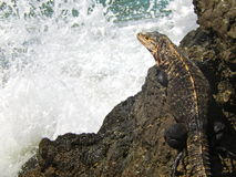 Iguana on iron shore formation at beach Stock Photo