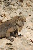 Iguana island Stock Photo