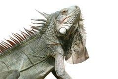 Iguana (isolada) Foto de Stock Royalty Free