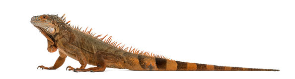 Iguana isolada no branco fotografia de stock