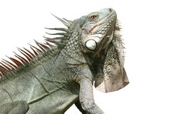 Iguana (isolated) Royalty Free Stock Photo