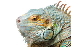 Iguana on isolated white stock photography