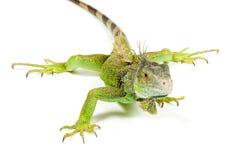 Iguana isolated on white background. Iguana isolated on a white background royalty free stock images