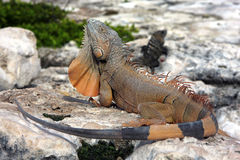 Iguana and its dewlap. Iguana demonstrating its dewlap while resting on rocky terrain Royalty Free Stock Photo