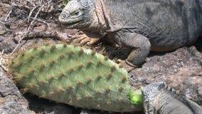 Iguana je kaktusowego zakończenie na skalistym wybrzeżu Galapagos wyspy zbiory