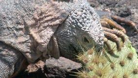 Iguana je kaktusowego zakończenie na skalistym wybrzeżu Galapagos wyspy zbiory wideo