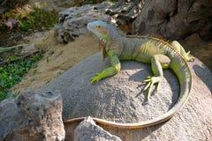 Iguana jest zielonym czubatym jaszczurką obraz stock