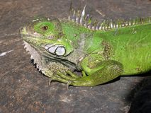 Iguana Joe Stock Image