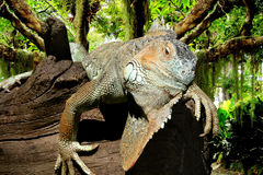 Iguana in the jungle Stock Image