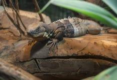 Iguana k?a?? na drzewie zdjęcie royalty free