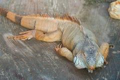 Iguana Krajowy ogród botaniczny Ukraina Obraz Stock