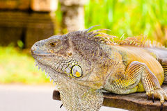 Iguana kuning Stock Photos