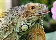 iguana kwiat Zdjęcia Stock