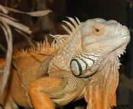 Iguana l obraz royalty free