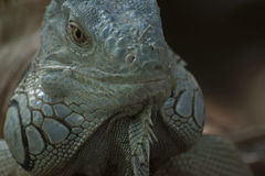 Iguana in Lacandonl Jungle. Endemic Iguana Spice in Lacandon Jungle Royalty Free Stock Image