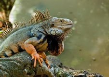 Iguana by the lake Royalty Free Stock Photo