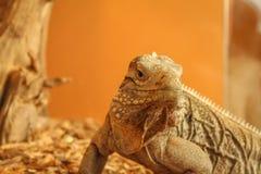 Iguana. Large iguana in a cage with an orange background Royalty Free Stock Images