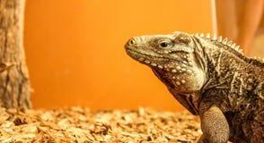 Iguana. Large iguana in a cage with an orange background Stock Image