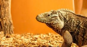 Iguana. Large iguana in a cage with an orange background Stock Photos