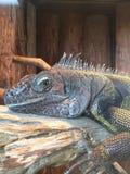 Iguana. Large iguana face Royalty Free Stock Photos
