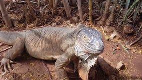 Big iguana stock photography