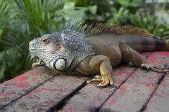 Iguana. Royalty Free Stock Image