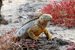 Iguana las Islas Gal3apagos de la pista imagenes de archivo
