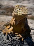 The iguana on a lava. The iguana has lifted a head and attentively looks Stock Photography