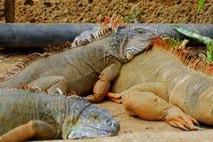 Iguana laying Royalty Free Stock Photography