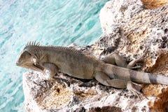 Iguana laying in the sun. Iguana lizard on an Ocean cliff warming itself in the tropical sun stock photography
