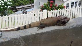 Iguana on ledge Stock Image