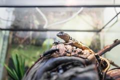 Iguana. Leiocephalus carinatus Stock Photos