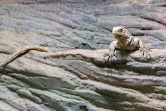 Iguana lies on a stone Royalty Free Stock Photography