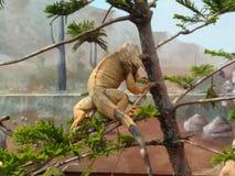 Iguana. Like look flying in tree Royalty Free Stock Image