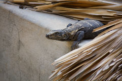 Iguana living in the roof hunting Puerto Escondido Mexico Stock Images