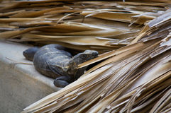 Iguana living in the roof interested Puerto Escondido Mexico Royalty Free Stock Images