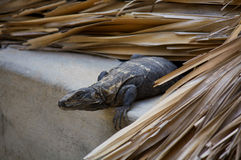 Iguana living in the roof preparing to jump Puerto Escondido Mex. Ico Royalty Free Stock Image